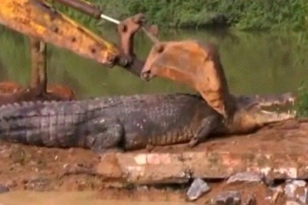 Έπιασαν κροκόδειλο‑«γίγαντα» που ζύγιζε ένα τόνο κι είχε μήκος 5,5 μέτρα